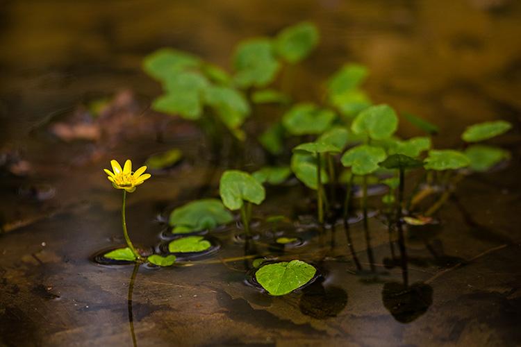 Ranunculus ficaria - Lesser celandine in a pond