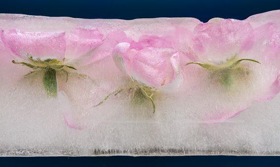 Frozen Rosa Canina