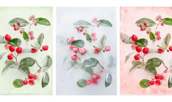 Gaultheria procumbens mix in ice