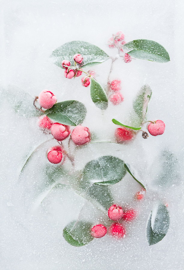 Gaultheria procumbens in ice