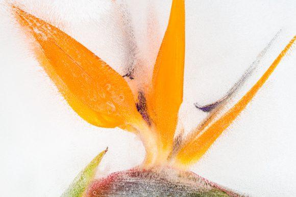 Strelitzia in ice