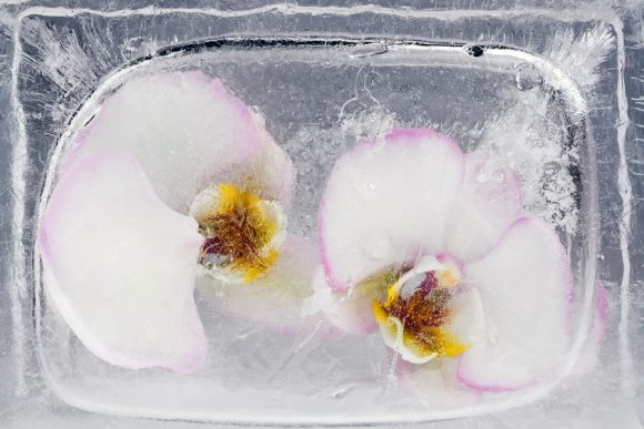 Moth Orchids in ice