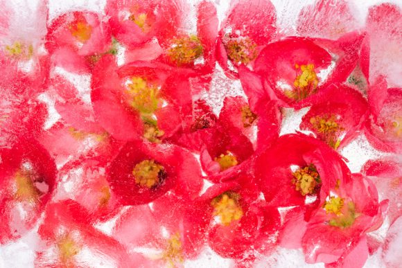 Japanese Flowering Quince texture