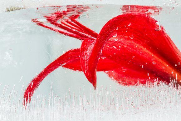 Sprekelias red claws
