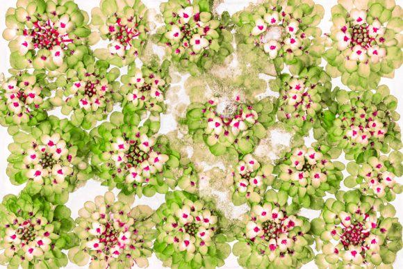 Candytuft green deviation
